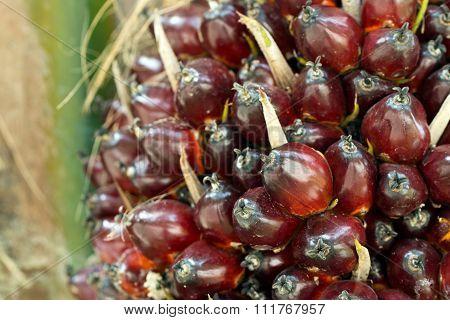 Oil Palm On Tree