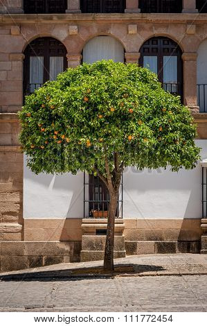 Orange tree in Ronda