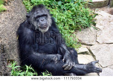 chimpanzee relaxing by rock
