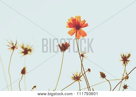 Vintage Photography With Cosmos Flower