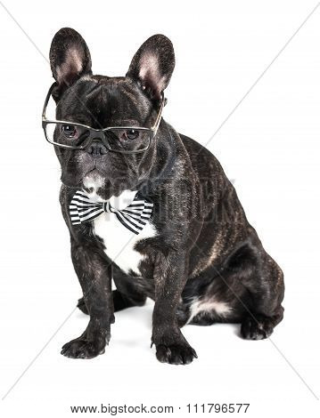 Bulldog In Glasses And A Bow Tie