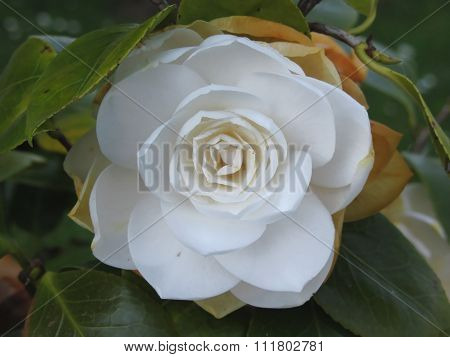 White Flower Of Camellia In Spring