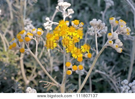 Tansy Flowers In The Hot Summer