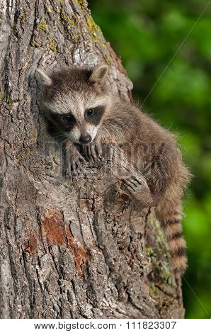 Young Raccoon (procyon Lotor) Clings To Tree