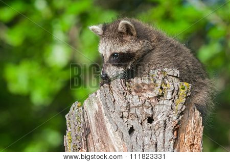 Young Raccoon (procyon Lotor) On Stump