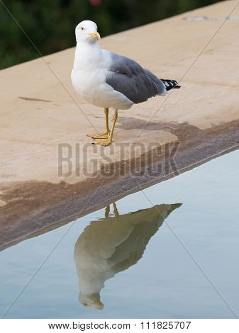 Proud White-gray Gull Reflected In Water