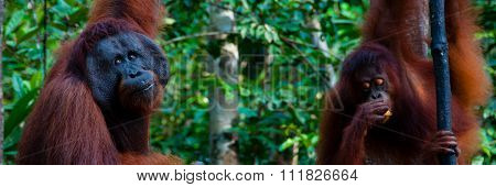 two Orangutan hanging on a tree in the jungle, Indonesia