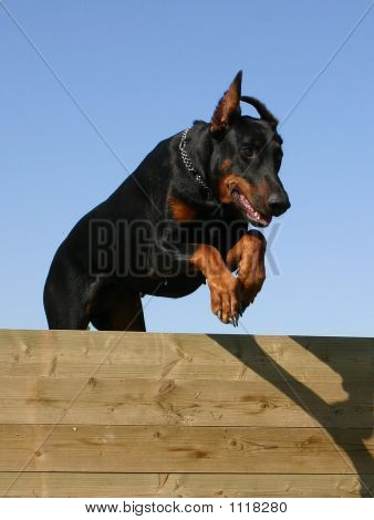 Jumping Doberman