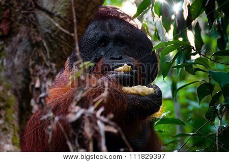 Alpha male orang utan eating banana behind a tree in Borneo