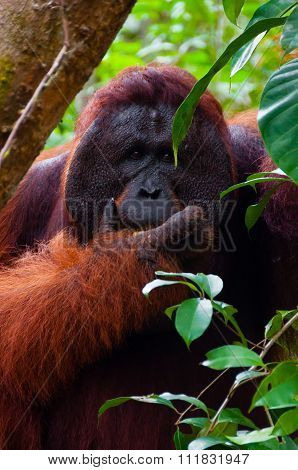 Alpha male orang utan eating portrait front