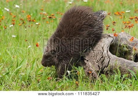 Porcupine (erethizon Dorsatum) Climbs Down Off Log