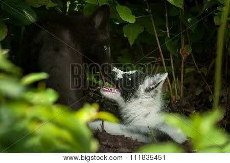 Silver Fox And Marble Fox (vulpes Vulpes) Nose Touch
