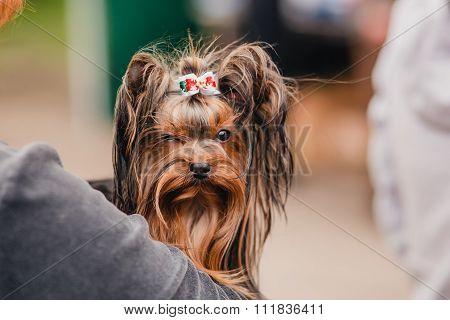 Yorkshire Terrier on hands