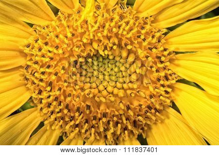 Center Of The Flower Yellow Sunflowers