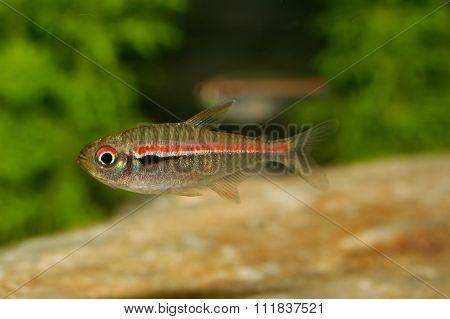 Tetra Fish From The Genus Hemigrammus