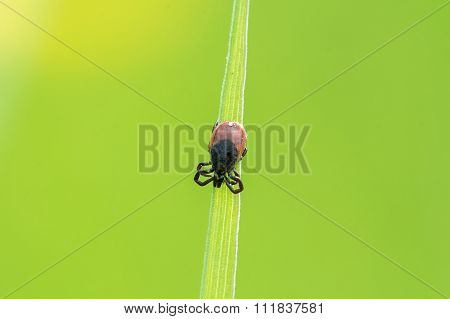 Tick ??sitting On A Leaf Of Grass