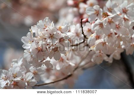 Cherry blossoms at early spring in Takato Nagano Japan