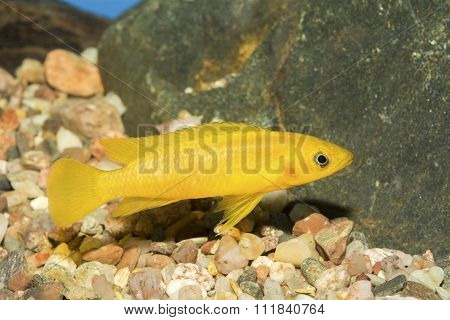 Cichlid Fish From Genus Neolamprologus