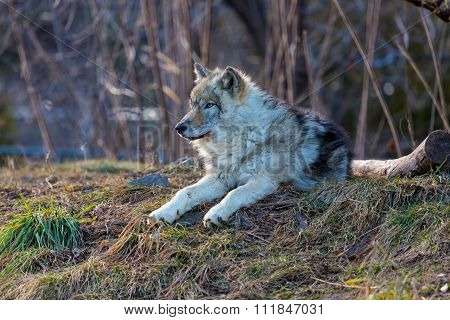 North American Grey Wolf.