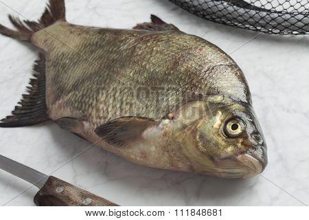 Fresh caught common bream