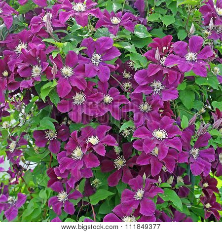 Numerous flowers of Clematis (Clematis)