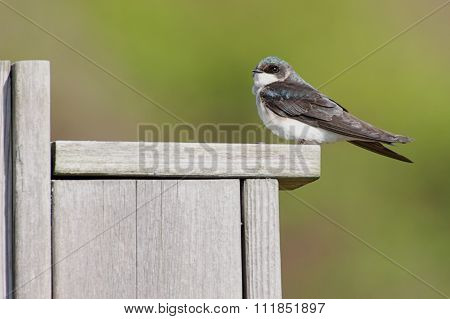 Tree Swallow On A Bird House
