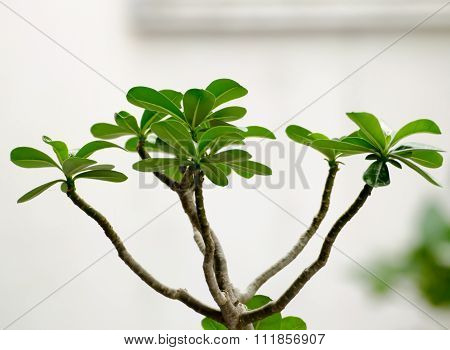 The Leaves And Branch Of Impala Lily