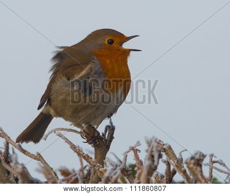 Robin singing on a frosty day. (Erithacus rubecula)