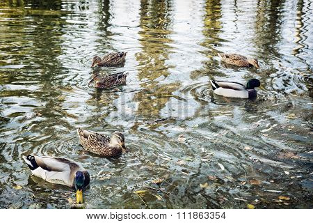 Group Of Wild Mallard Ducks In The Pond, Waves And Reflection