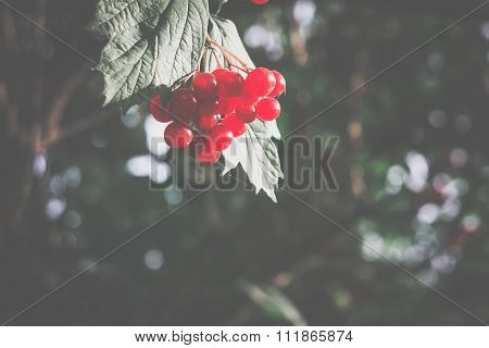 Rowan Branches With Berries Retro