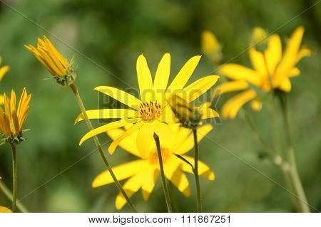 yellow sunchoke flower in garden