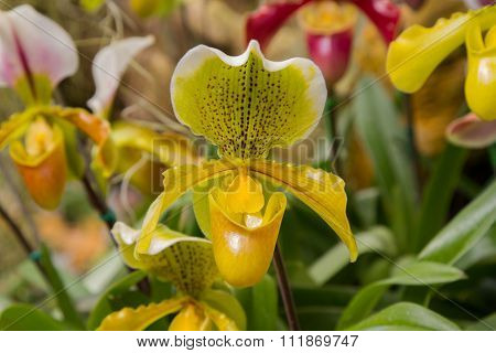 Flowers of Paphiopedilum orchid from Doi Tung Chiang Rai Thailand