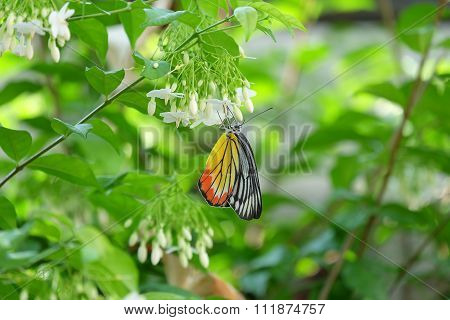 A Colorful Monarch Butterfly With White Water Jasmine Flowers