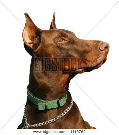 Doberman Detoured
