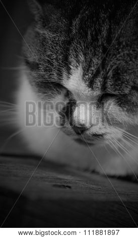 Sleepy Chubby Pussy Cat Lied On The Wooden Closeup On Its Head Black And White