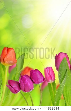 Dewy tulips with green leaf