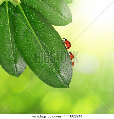 Ficus leaves with dew drops and ladybugs