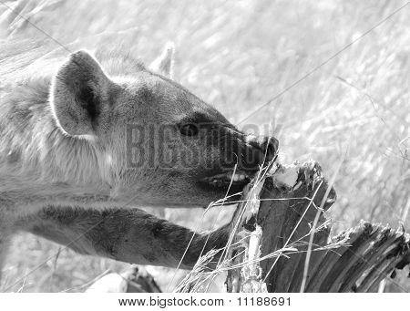 Spotted Hyaena In Black & White