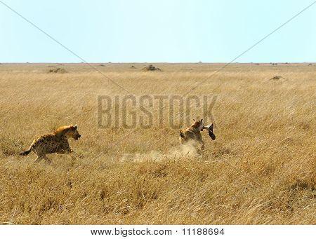 A Spotted Hyaena Is Running With A Buffalo Leg