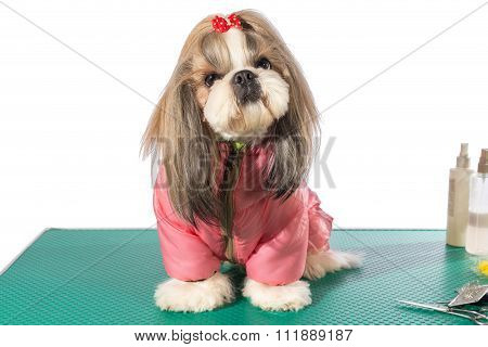 Fluffy Shih-tzu At The Groomer Table In Pink Dog Costume