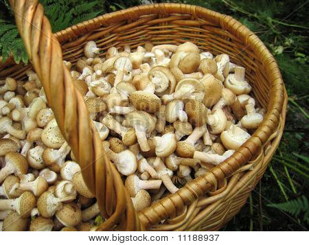 Eatable Mushrooms In The Big Basket