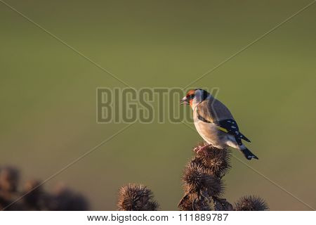 European Goldfinch Carduelis carduelis perched