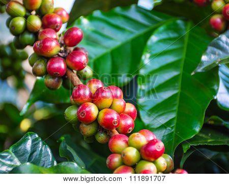 Close Up Arabica Coffee Beans