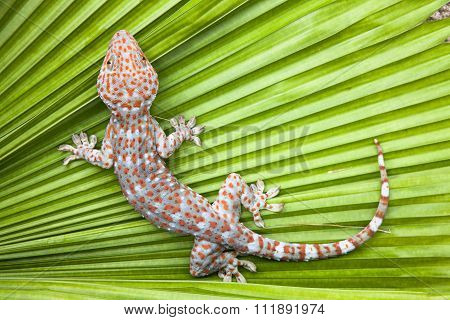 Spotted Gecko On A Green Leaf Palm.