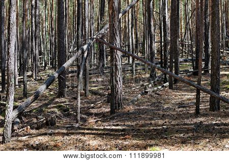Pine forest in the Siberian