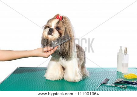 Little Shih-tzu Dog At The Groomer's Hands With Comb