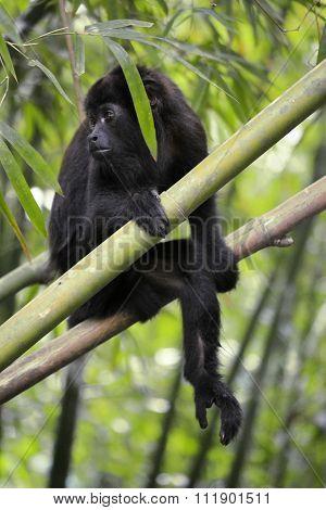 Monkey -  Alouatta Palliata