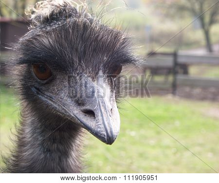 An Ostrich With Curious Look