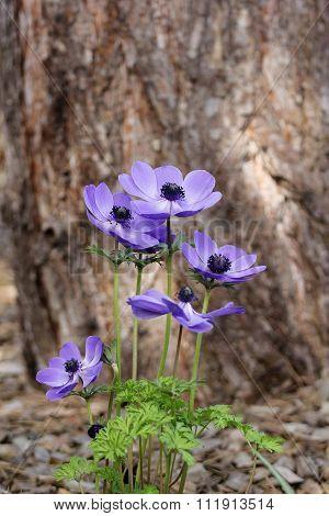 Blue anemone (coronaria or Mr. Fokker) flower