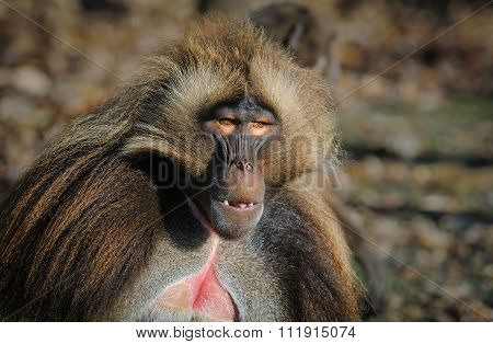 Portrait Of Gelada Baboon Male At The Zoo, Germany